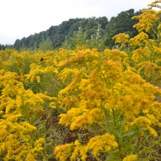 Canada Goldenrod Tincture
